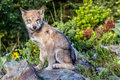 Sitting gray wolf pup in early morning light Royalty Free Stock Images