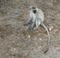 Sitting green monkey on the ground in tanzania Royalty Free Stock Photos