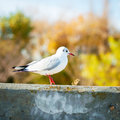 Sitting gull nice ner the water autumn Royalty Free Stock Images