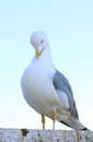 Sitting gull white grey cleaning its feathers Stock Photography