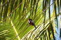 Sitting kingfisher and green big palm leaf detail photo Royalty Free Stock Photo