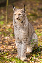 Sitting lynx portrait of a on leaves in autumn forest Stock Image