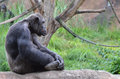 Sitting male chimp a sits cross legged on a rock Stock Photography
