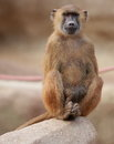 Sitting monkey blurred background furry Stock Photos