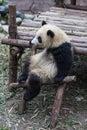 stock image of  A Sitting Panda