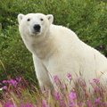 Sitting polar bear canadian in the colorful arctic tundra of the hudson bay near churchill manitoba in summer Stock Photos