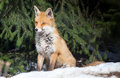 Sitting red fox winter forest Royalty Free Stock Photos