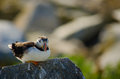 A sitting ruffled puffin on rock with its feathers being by the wind Stock Images