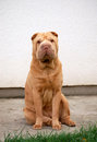 Sitting sharpei female Royalty Free Stock Photo