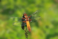 Sitting yellow and brown striped dragon fly Stock Photo
