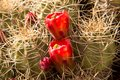 Cactus Blooming in April in Red Rock Canyon