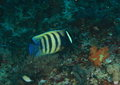 Six-banded angelfish Royalty Free Stock Photo