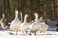 Six Big Geese In Winter Snow