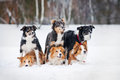 Six border coolie dogs portrait in winter Royalty Free Stock Photo