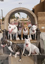 Six Bull Terriers posing on a playground Stock Photos
