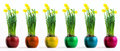 Six coloured pots with flourishing yellow daffodil in a row daffodils Stock Image