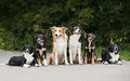 Six dog border collie family summer Stock Photography