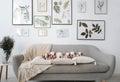 Six english bulldog puppies sitting on gray sofa in room. Royalty Free Stock Photo