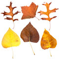 Six fall leaves isolated on white background Royalty Free Stock Photos