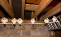 Six immature fledgling swallows perched on a rail in a garage these are all one brood and came from the same nest Stock Image