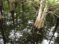 Cypress tree in swamp with pristine reflection Royalty Free Stock Photo