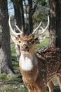 Six Point Buck Stock Photography