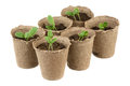 Six pots young fresh seedling stands in Royalty Free Stock Image