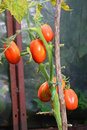 Six red ripe plum tomatoes on the Bush closeup in the greenhouse in the village of Vyritsa Sunny summer day Royalty Free Stock Photo