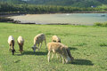 Six sheep grazing rodrigues island image showing a small group of eating grass with the sea in the background mauritius Royalty Free Stock Photography