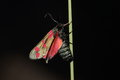 Six spot burnet moth view of a against a black background Royalty Free Stock Photo