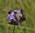 Six-spot Burnet moths on Scabious Stock Photography