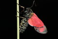 Six spot burnett moth view of a burnet against a black background Stock Image