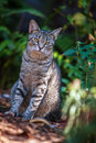 Six toed cat at hemingway home in key west striped looks camera Royalty Free Stock Photos