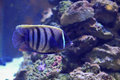 Sixbar angelfish Royalty Free Stock Photo