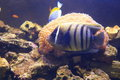 Sixbar angelfish Royalty Free Stock Photo