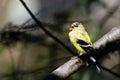 Sjungande manlig steglits som ändrar till att föda upp fjäderdräkt Royaltyfri Fotografi