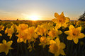 Skagit valley daffodil field at sunset washington state Stock Image