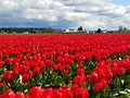 A Sea of Red Tulip Beauties Royalty Free Stock Photo