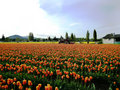 Skagit Valley Tulip Festival Royalty Free Stock Images