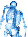The skeletal back accurate medical illustration of Stock Photo