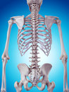 The skeletal back medically accurate illustration of Stock Images