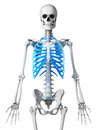 Skeletal thorax d rendered illustration Stock Photography