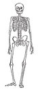 Skeleton anatomy the of the person costs of a human body drawing black ink on white paper Stock Photo