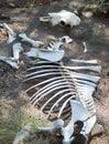 Skeleton Of Cow
