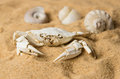 Skeleton of crab and seashells on sand sandy background Stock Photography