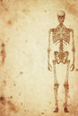 Skeleton cursory drawing human on old paper background Stock Images