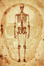Skeleton cursory drawing human on old paper background Royalty Free Stock Photography