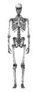 Skeleton cursory drawing human on white background Royalty Free Stock Photos