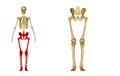 Skeleton: Hip, Femur, Tibia, Fibula, Ankle and Foot bones Royalty Free Stock Photo