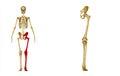 Skeleton: Left leg bones:Hip, Femur, Tibia, Fibula, Ankle and Foot bones Royalty Free Stock Photo
